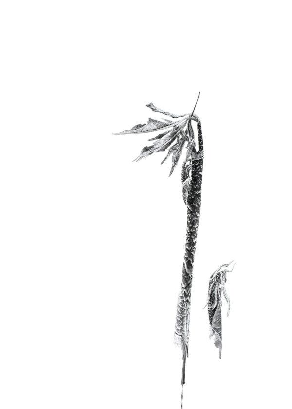 Marianne Hazlewood Ink Shoots Arisaema Tortuosum Pen And Ink On Paper 70 X 50 Cm
