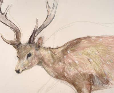 01 Axis Deer