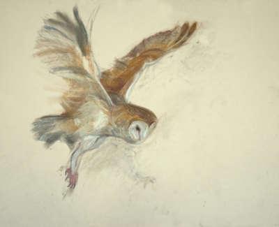 26 Barn Owl
