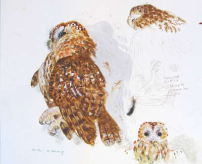 Tawny Owl Measured Drawing Jpegweb