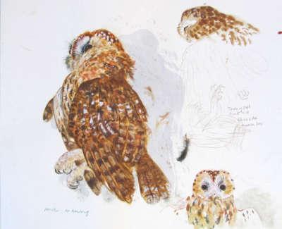Tawny Owl Measured Drawing Jpegweb
